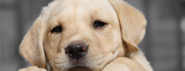 Labrador-Retriever-Puppy.jpg.pagespeed.ce.aqF33gxnIo